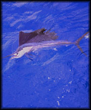 Sailfish Fishing Fort Lauderdale
